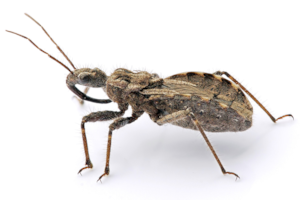Assassin_bug_aug08_02.png