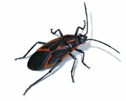 box-elder-bug-illustration_1500x1200.png